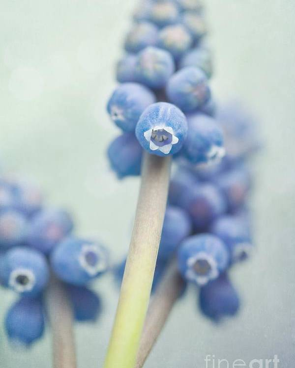 Grape Hyacinths Poster featuring the photograph Muscari by Priska Wettstein