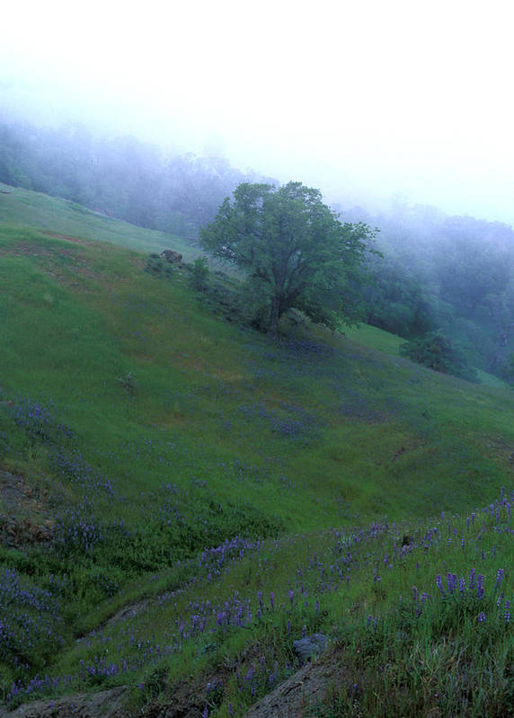 Landscapes Poster featuring the photograph Oak With Lupine In Fog by Kathy Yates