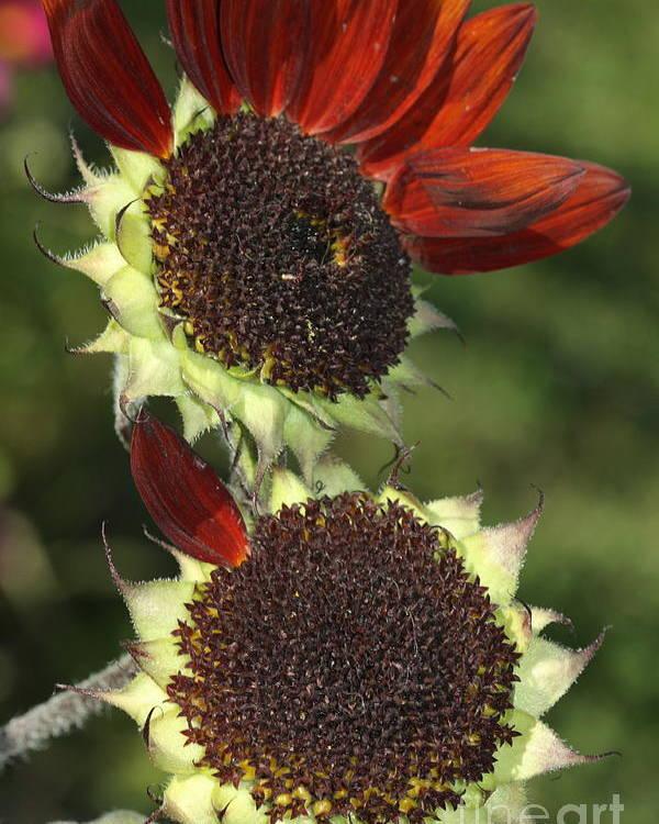 Sunflower Poster featuring the photograph One Petal by Deborah Benoit
