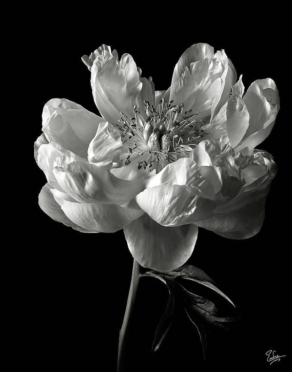 Flower Poster featuring the photograph Open Peony In Black And White by Endre Balogh