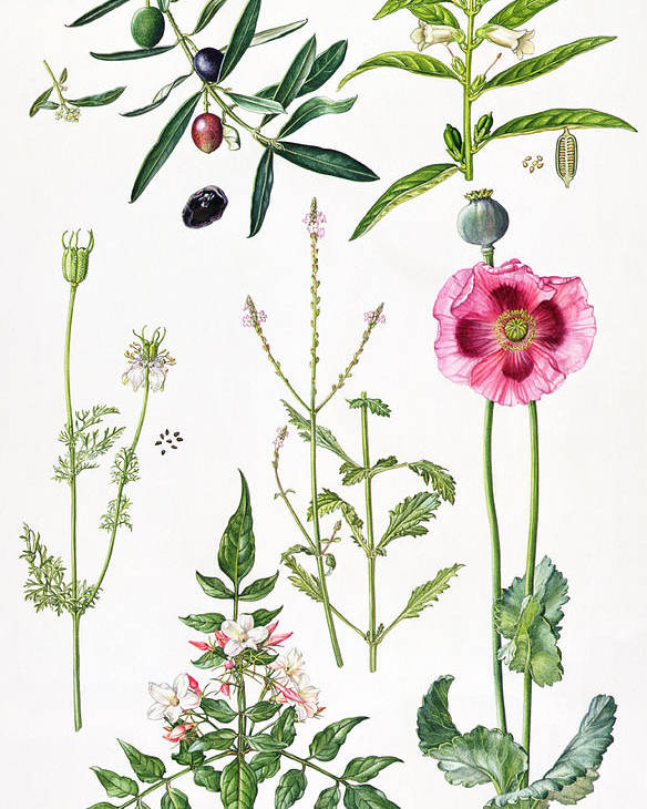 Sesame; Black; Cumin; Olive; Vervain; White; Jasmine; Herb; Botanical; Herbs; Opium Poppy; Olives; Leaf; Leafs; Flower; Flowering Poster featuring the painting Opium Poppy And Other Plants by Elizabeth Rice