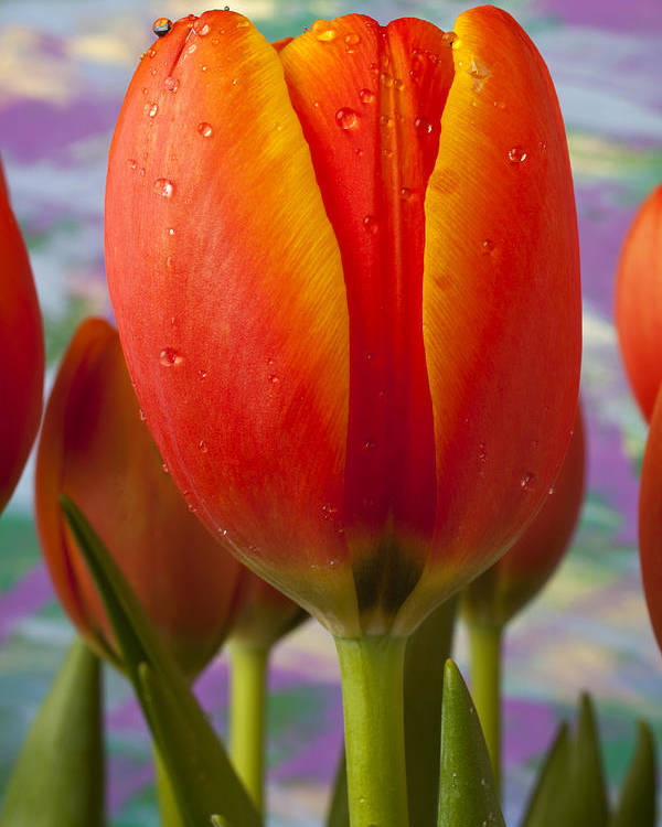 Orange Yellow Tulip Poster featuring the photograph Orange Tulip Close Up by Garry Gay