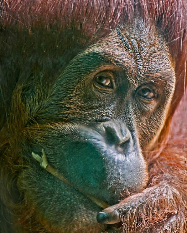 Orangutan Glass Stick Red Hair Portrait Hand Face Close Up Close-up Poster featuring the photograph Orangutan by Richard Marquardt