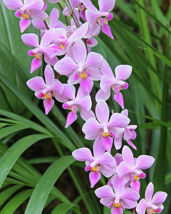 Becky Poster featuring the photograph Orchids 15 by Becky Lodes