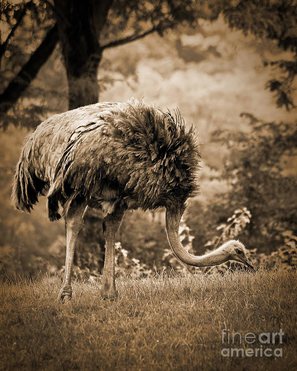 African Poster featuring the photograph Ostrich by Arne Hansen