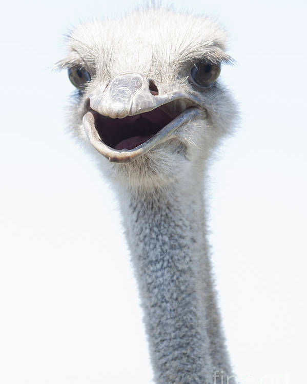 Ostrich Poster featuring the photograph Ostrich Neck by Stacey Callaway