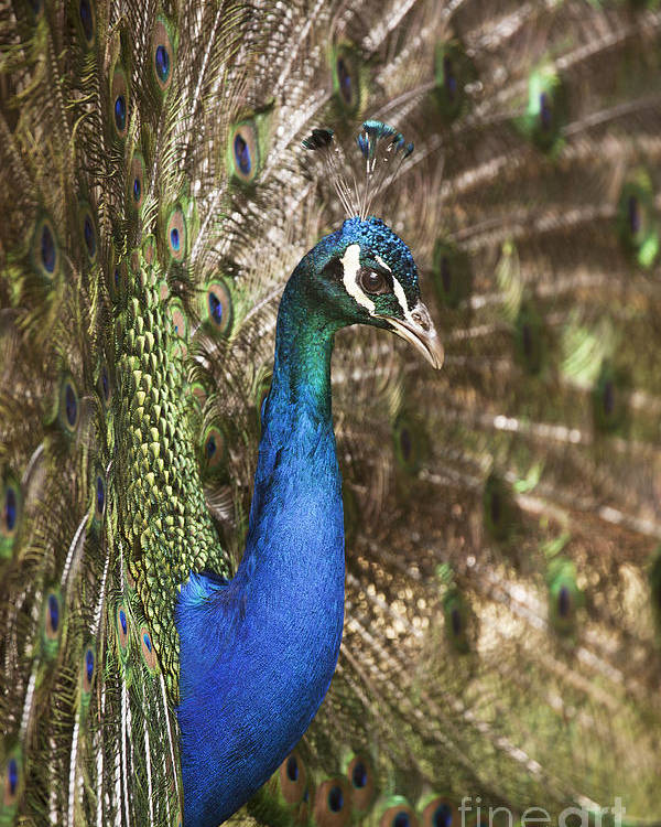 Male Poster featuring the photograph Peacock Display by Richard Garvey-Williams