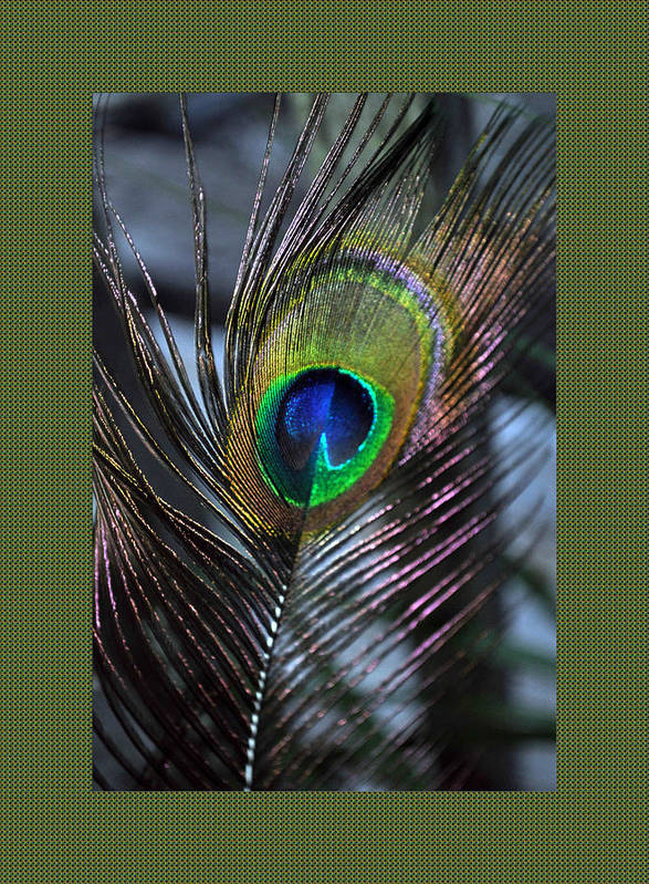 Peacock Poster featuring the photograph Peacock Feather Ll by Daryl Macintyre