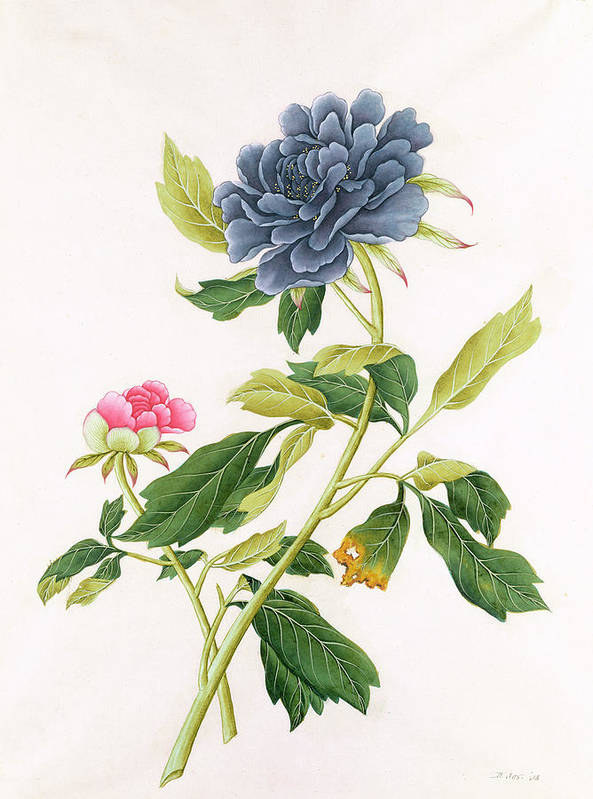 Georg Dionysius Ehret Poster featuring the painting Peony by Georg Dionysius Ehret