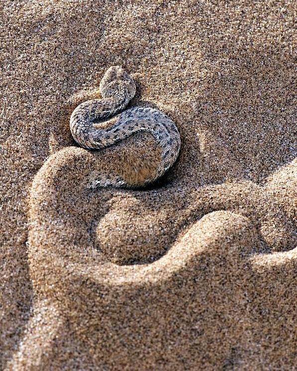 Bitis Peringueyi Poster featuring the photograph Peringuey's Adder Burying Itself In Sand by Tony Camacho
