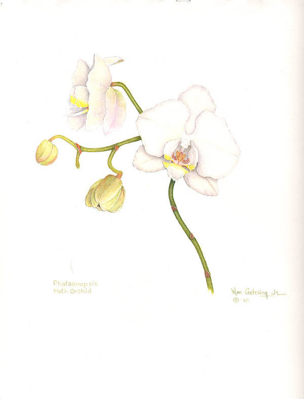Orchid Poster featuring the painting Phalaenopsis Moth Orchid by Bill Gehring