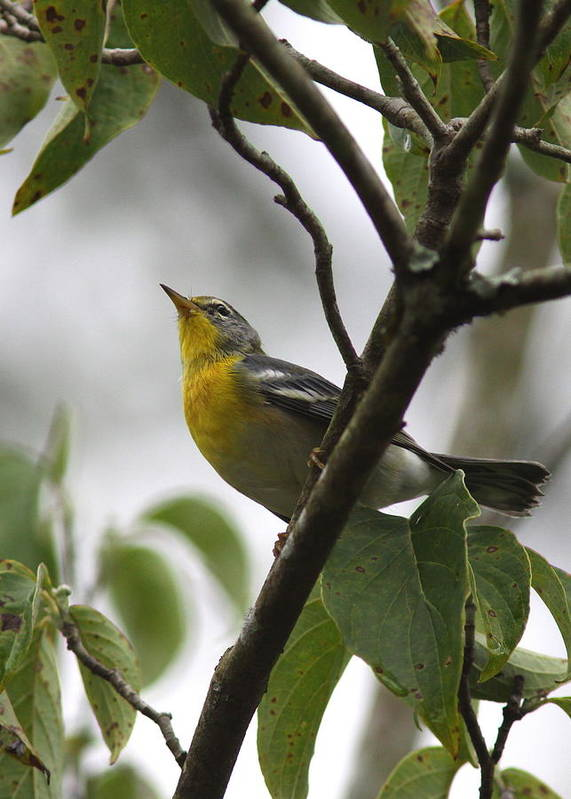 Northern Parula Poster featuring the photograph Northern Parula by Travis Truelove