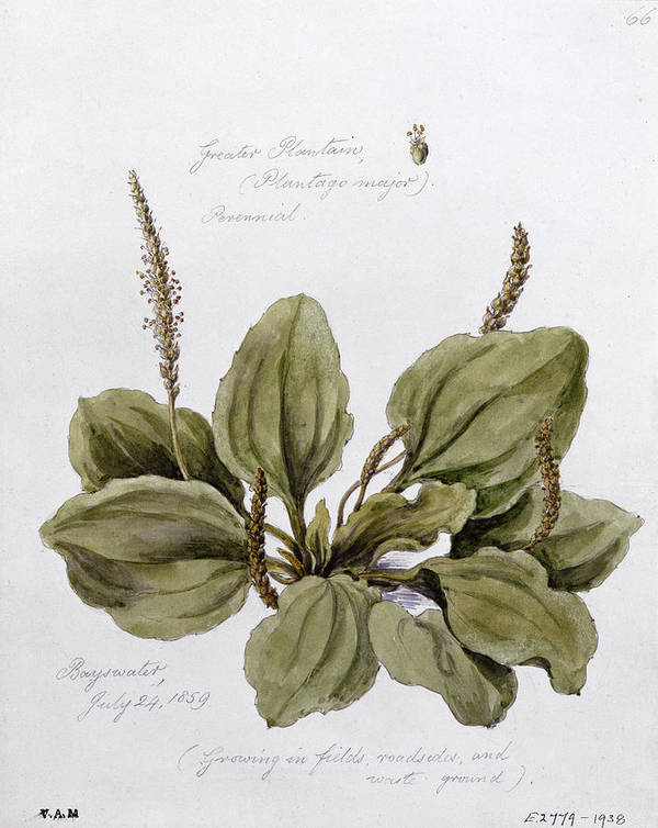 Plant; Leaves; Botanical Drawing; Botany Poster featuring the painting Plantain by WJ Linton