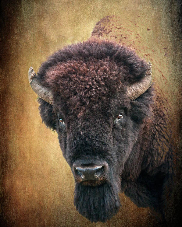 Bison Poster featuring the photograph Portrait Of A Buffalo by Tamyra Ayles