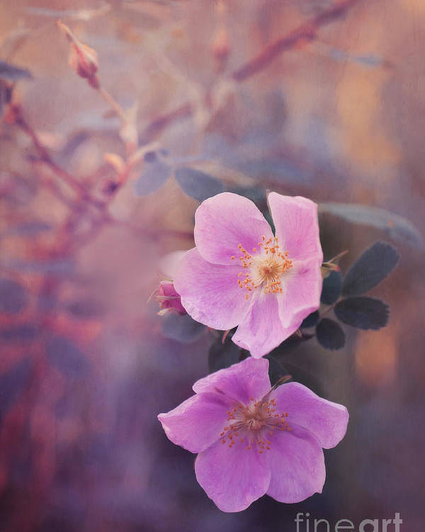 Rosa Acicularis Poster featuring the photograph Prickly Rose by Priska Wettstein