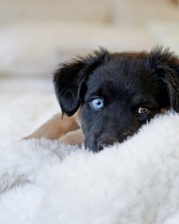 Vertical Poster featuring the photograph Puppy Lying On Soft Blanket by Angela Auclair