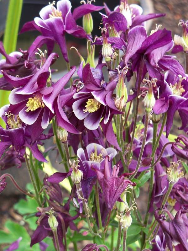 Flower Poster featuring the photograph Purple Columbine by Corinne Elizabeth Cowherd