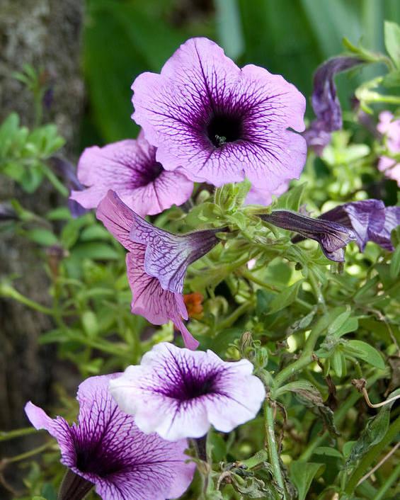 Flower Poster featuring the photograph Purple Petunias by Karen Harrison