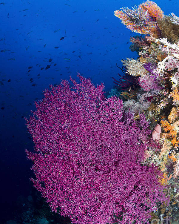 Raja Ampat Poster featuring the photograph Purple Sea Fan In Raja Ampat, Indonesia by Todd Winner
