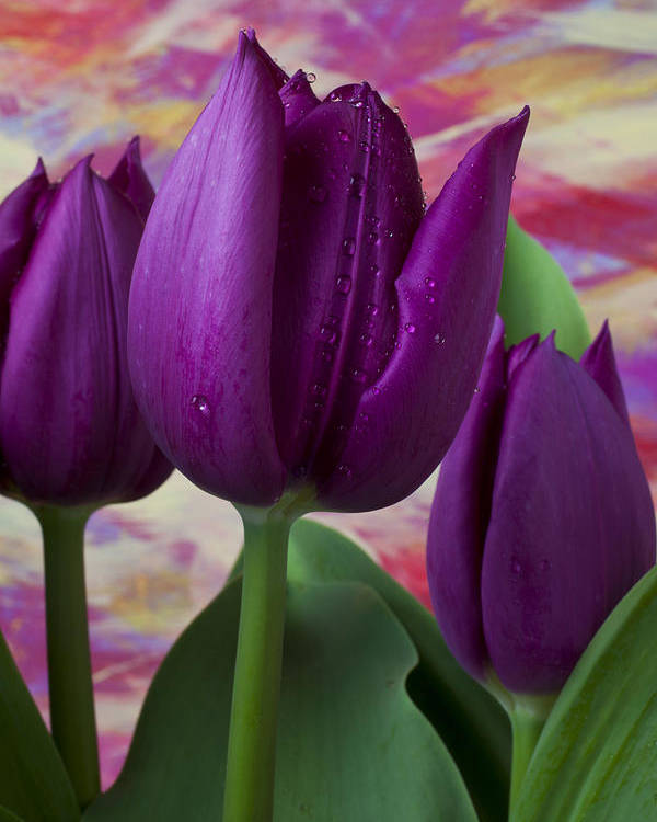 Purple Tulip Poster featuring the photograph Purple Tulips by Garry Gay