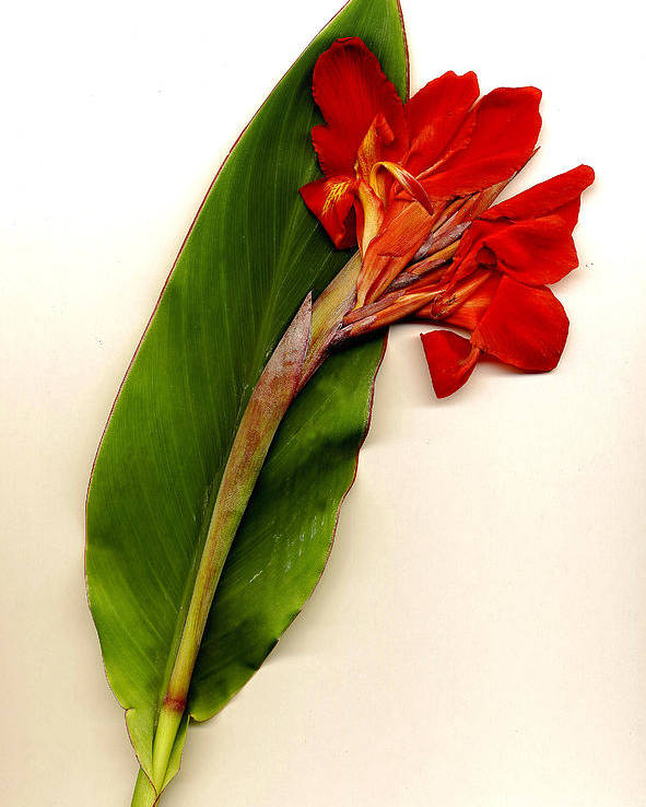 Flowers/canna Poster featuring the photograph Red Canna by JDon Cook