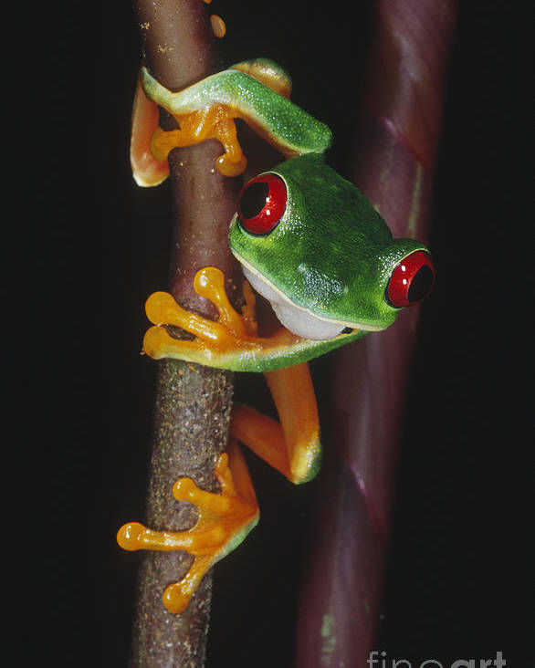 Animal Poster featuring the photograph Red-eyed Tree Frog Agalychnis Callidryas by Gregory G. Dimijian, M.D.