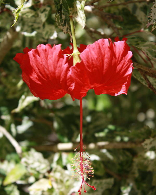 Hibiscus Poster featuring the photograph Red Hibiscus by Natalija Wortman