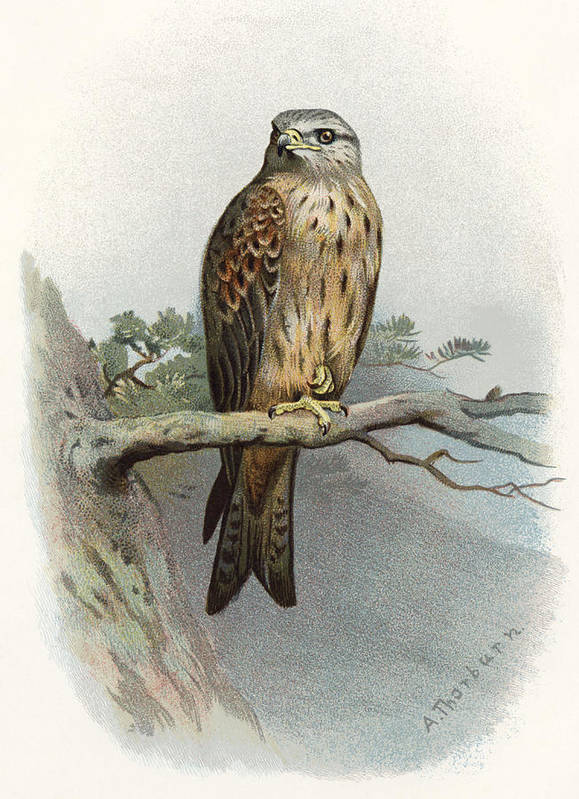 Kite Poster featuring the photograph Red Kite, Historical Artwork by Sheila Terry