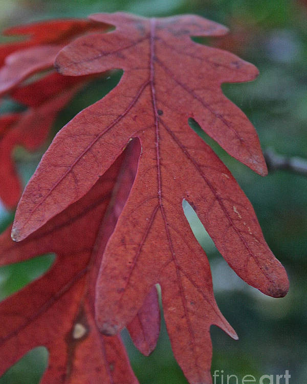 Outdoors Poster featuring the photograph Red Oak Leaf by Susan Herber