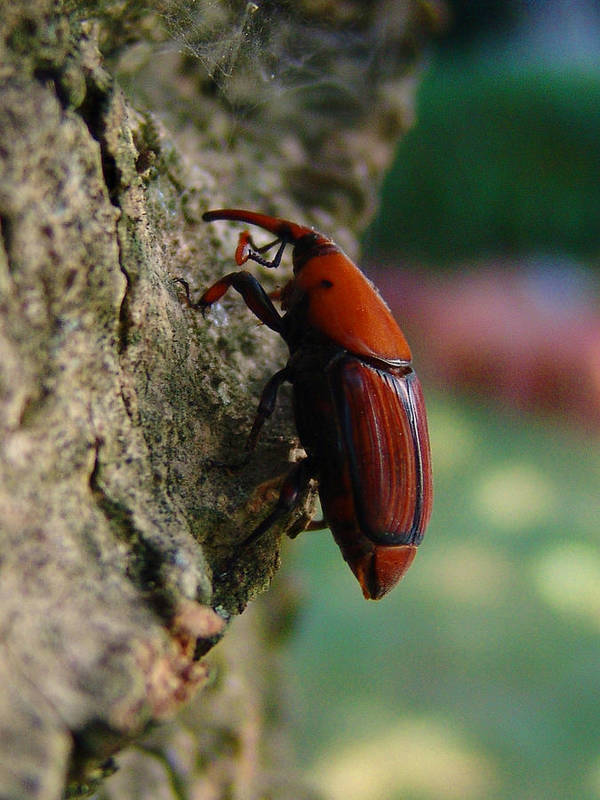 Red Palm Weevil Poster featuring the photograph Red Palm Weevil by Alessandro Della Pietra