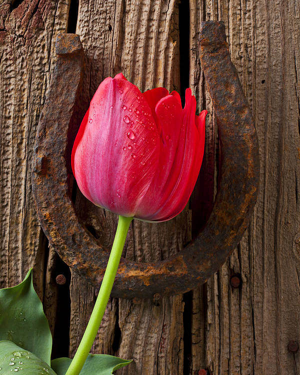 Red Poster featuring the photograph Red Tulip And Horseshoe by Garry Gay