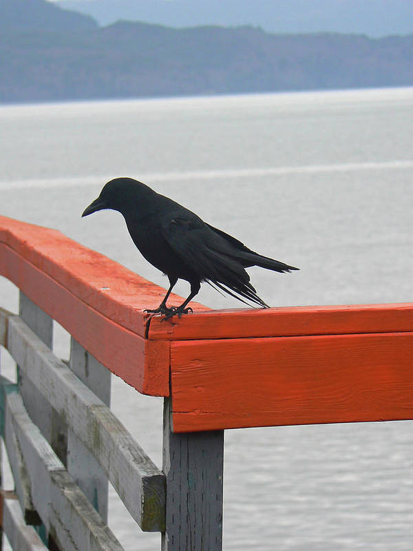 Crow Poster featuring the photograph River Crow by Pamela Patch