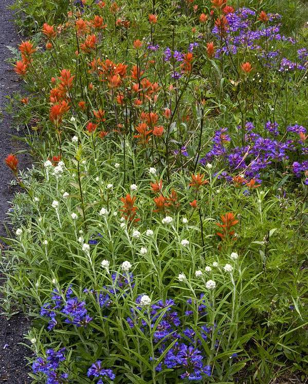 Cascade Penstemon Poster featuring the photograph Roadside Flowers, Cascade Mountains, Usa by Bob Gibbons