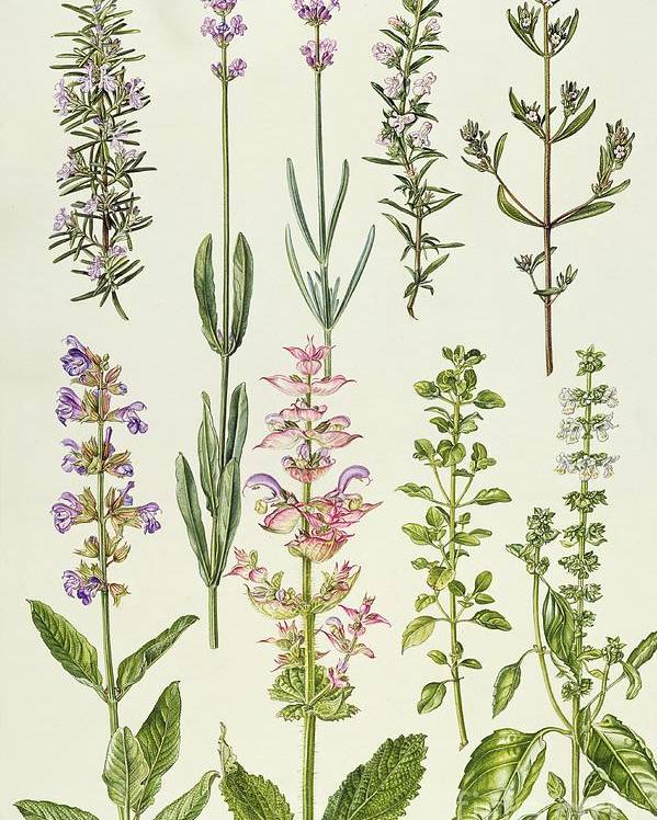 Rosemary And Other Herbs Poster by Elizabeth Rice