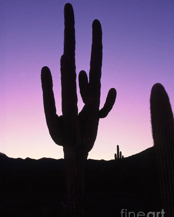 Cactus Poster featuring the photograph Saguro Cactus by Barry Shaffer