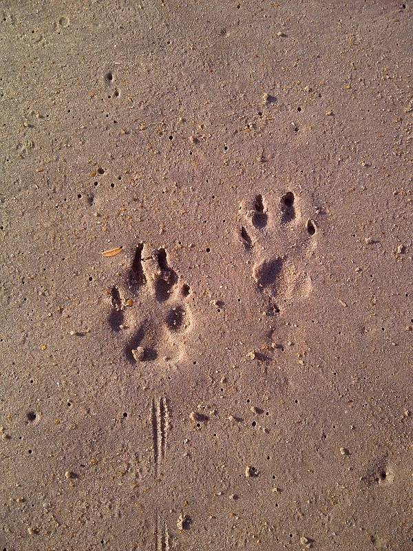Paw Prints Poster featuring the photograph Sand Paws by Jenna Mackay