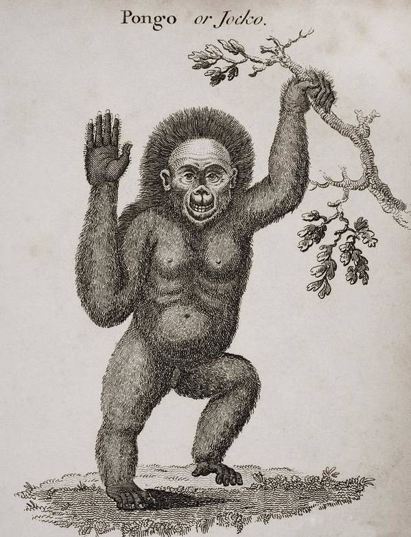 Animal Poster featuring the photograph Satyrus, Ourang Outang. Pongo Or Jocko by Ken Welsh