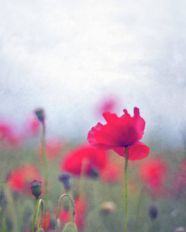 Vertical Poster featuring the photograph Scarlet Poppies In Painterly Style by Image by Catherine MacBride