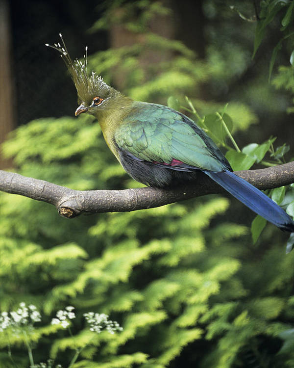 Tauraco Schalowi Poster featuring the photograph Schalow's Turaco by David Aubrey