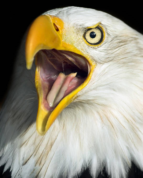 American Poster featuring the photograph Screaming Eagle Portrait by Artur Bogacki