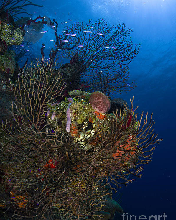 Sea Life Poster featuring the photograph Sea Fan Seascape, Belize by Todd Winner