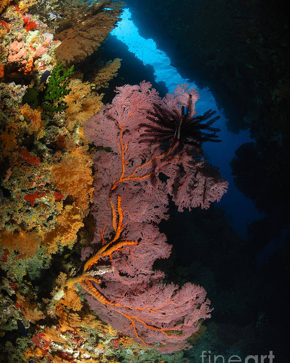 Crinoid Poster featuring the photograph Sea Fans And Crinoid, Fiji by Todd Winner