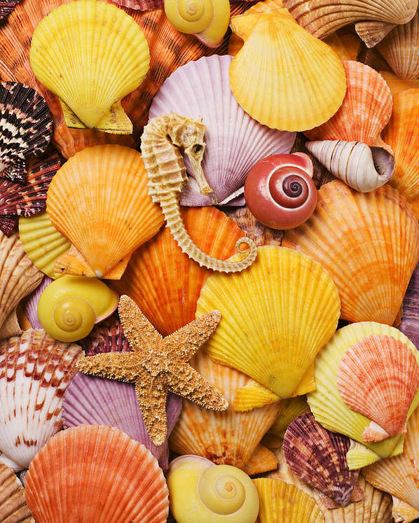 Sea Shells Starfish Poster featuring the photograph Sea Horse Starfish And Seashells by Garry Gay