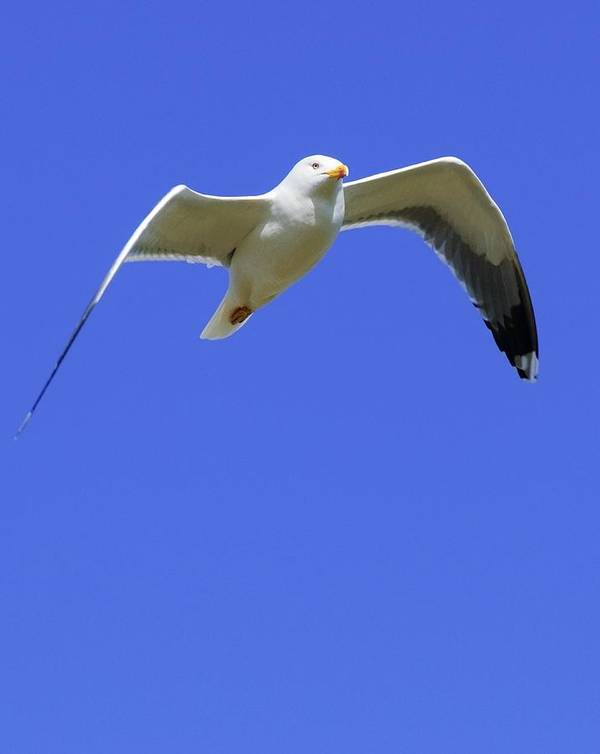 1 Animal Only Poster featuring the photograph Seagull In Flight by Ben Welsh