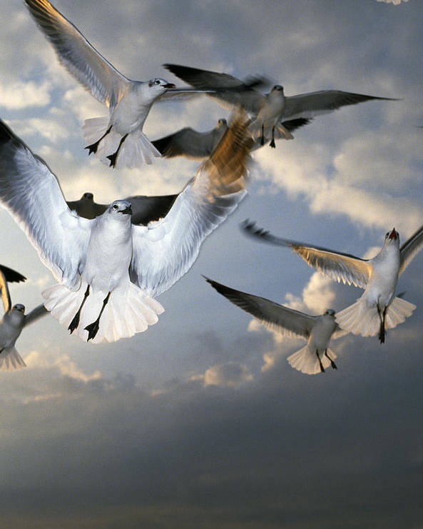 Animal Poster featuring the photograph Seagulls In Flight by Natural Selection Ralph Curtin