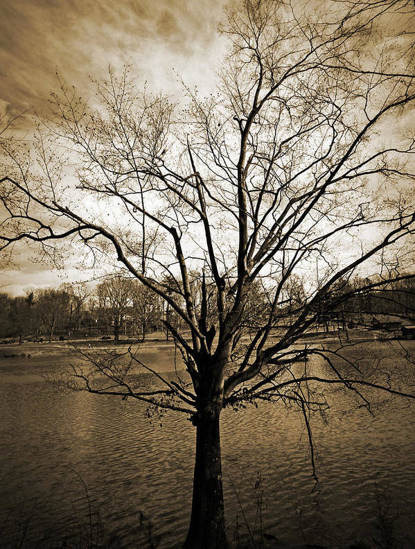 Tree Poster featuring the photograph Sepia Tree by Sheila Kay McIntyre