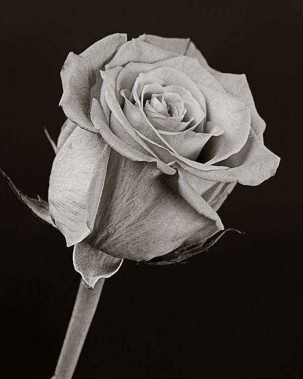 Rose Poster featuring the photograph Sharp Rose Black And White by M K Miller