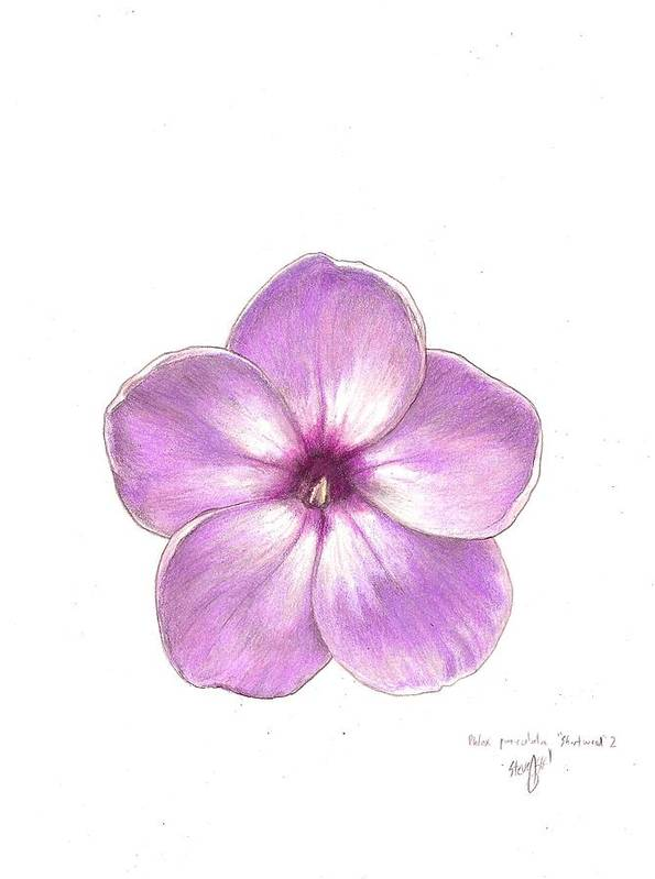 Phlox Poster featuring the drawing Shortwood Phlox 2 by Steve Asbell