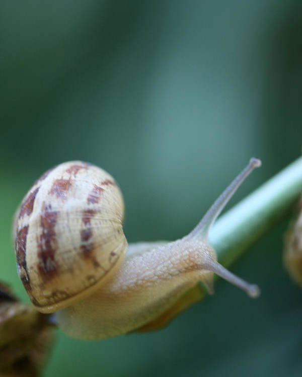Snail Poster featuring the photograph Shy Traveler by Rachel Hessinger