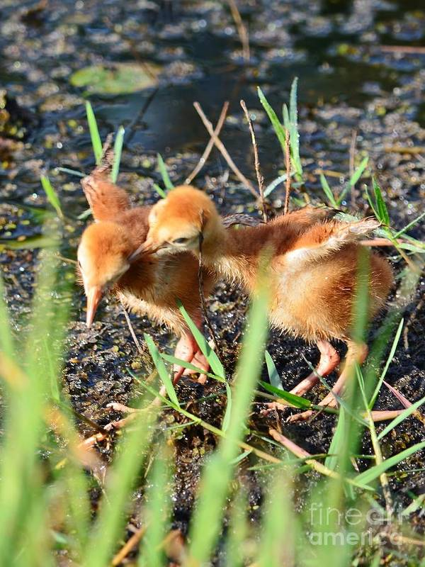 Sandhill Crane Poster featuring the photograph Sibling Rivalry 3 by Lynda Dawson-Youngclaus